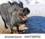 Pleased And Laughing Wild Boar...