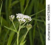 Small photo of Blooming Common Yarrow, Achillea millefolium, with bokeh background macro, selective focus, shallow DOF