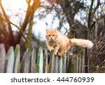 Fluffy Ginger Tabby Cat Walking ...