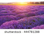 bright lavender field at sunset.... | Shutterstock . vector #444781288