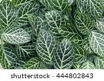 green foliage of fittonia... | Shutterstock . vector #444802843