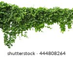 vine plants isolate on white... | Shutterstock . vector #444808264