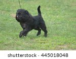 Small photo of Cute affenpinscher dog with his tongue licking his nose.