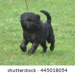 Small photo of Really cute black affenpinscher dog in a field.