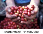 a coffee plantation neat the... | Shutterstock . vector #445087900