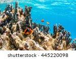 colony of anemonefish | Shutterstock . vector #445220098
