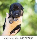 human hands hold german...   Shutterstock . vector #445247758