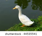 Duck Near River