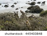 california ground squirrel on... | Shutterstock . vector #445403848