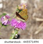 Small photo of Amberboa, is a genus of herbaceous plants of the Aster family (Asteraceae).Argynnis pandora, the cardinal, is a butterfly of the Nymphalidae family