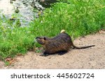 Wild Furry Coypu On The...