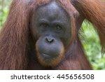 Bornean Orangutan. Pongo...