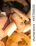 Mushrooms Russula. The Shrimp...