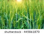 Fresh Green Wheat Field During...