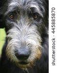 Small photo of Shaggy muzzle of a dog of breed Irish Wolfhound.