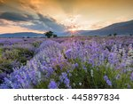 lavender flowers blooming field ... | Shutterstock . vector #445897834