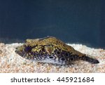 "Small photo of Puffer fish - freshwater ""send"" tetradon."