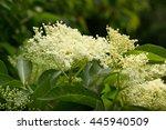 white inflorescence elderberry  ... | Shutterstock . vector #445940509
