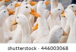Large group of white ducks.