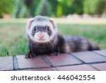Small Ferret Walking In The...