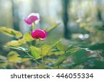 wild peony in the forest in the ...   Shutterstock . vector #446055334