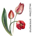 Three Tulips On A White...