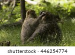 Small photo of Monkey delouse another monkey