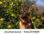 Stock photo shepherd dog portrait in yellow flowers 446259889