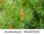 Young Pine Cones