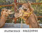 two smiling camels in cozumel... | Shutterstock . vector #446324944