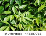 nature background woodbine   Shutterstock . vector #446387788