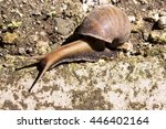 Small photo of African giant snail� Achatina Achatina snail is an invasive species, Bali, Indonesia