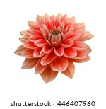 Pink Dahlia Flower Isolated On...