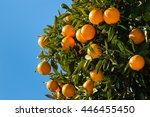 Clementines Ripening On Tree...