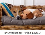 Stock photo jack russell terrier dog under the blanket in bed having a siesta and relaxing with best friend 446512210