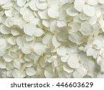 White Hydrangea Flowers Tender...
