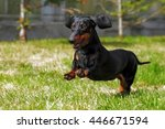 Happy Dog German Haired Dwarf...