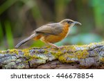 Small photo of Rusty-cheeked Scimitar Babbler Thailand