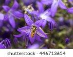 Marmalade Hoverfly  Episyrphus...