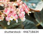 Close Up Of Beautiful Begonia...