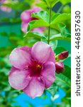 Small photo of Allamanda blanchetii flower