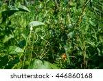 garlic arrows