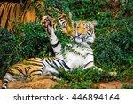 behavior of the tiger. | Shutterstock . vector #446894164