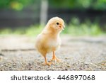 A Little Chicken In Garden