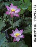 lotus flower and lotus flower...   Shutterstock . vector #446953378