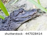 Small photo of Close-up of a Chinese alligator (Alligator sinensis)