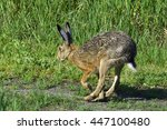 Stock photo european hare running over a meadow 447100480