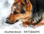 german shepherd in snow | Shutterstock . vector #447186694