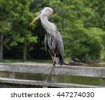 Great Blue Heron Of Mobile Bay