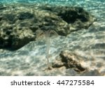 Small photo of Transparent Jellyfish - Geryonia proboscidactilis (Hydrozoa)